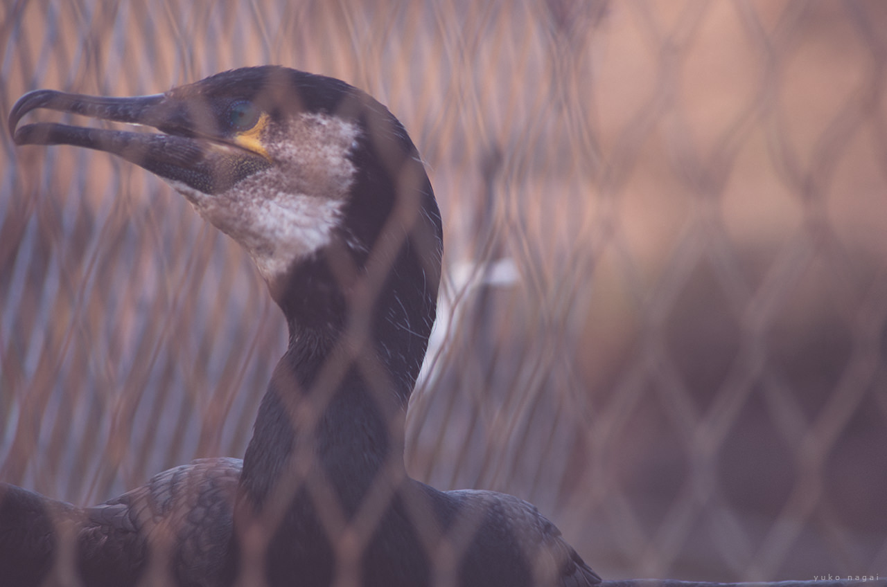A Fishing Cormorant in cage.