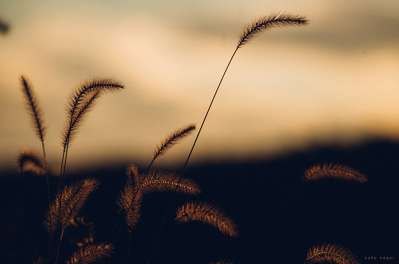 Green foxtails at sunset.