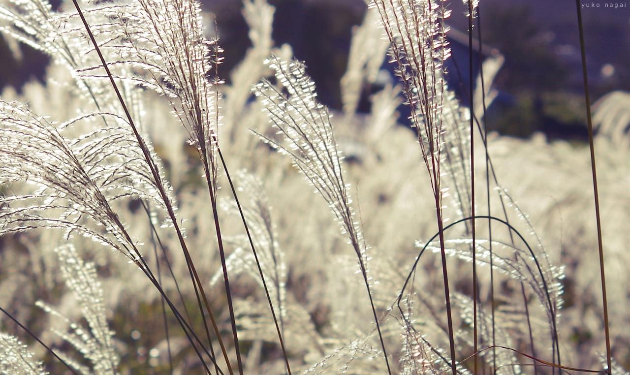 Sun-lit silver grasses.