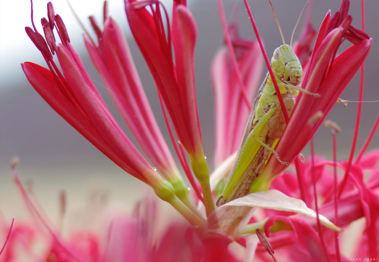 A grasshopper on spider lily buds.