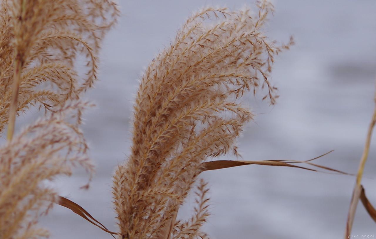Silver grasses by the sea.