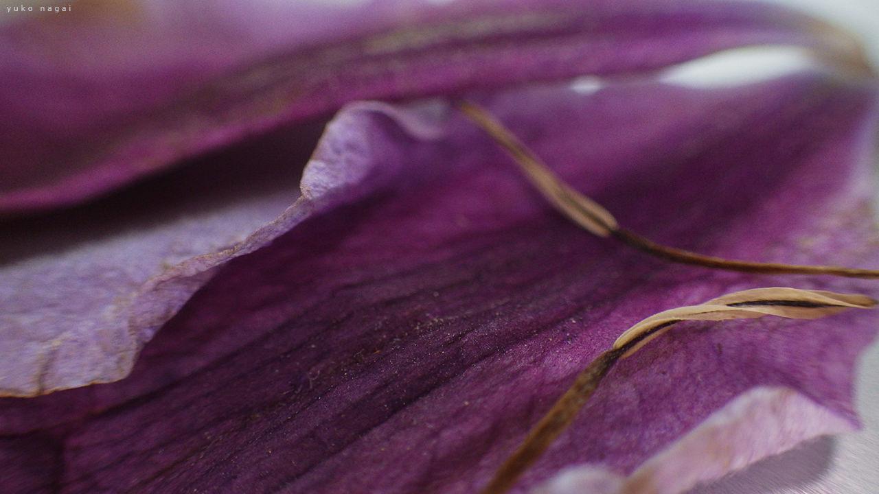 Clematis petals close up.