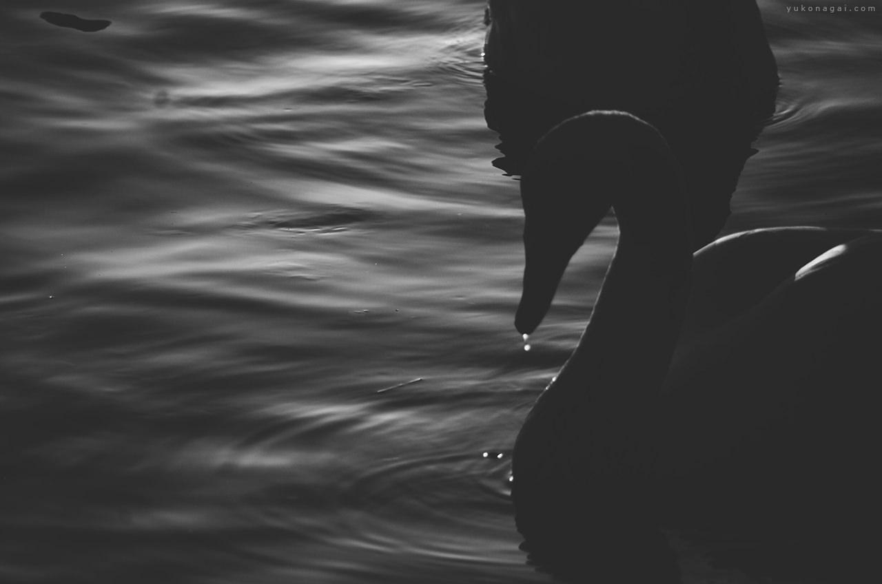Swans against water ripples.
