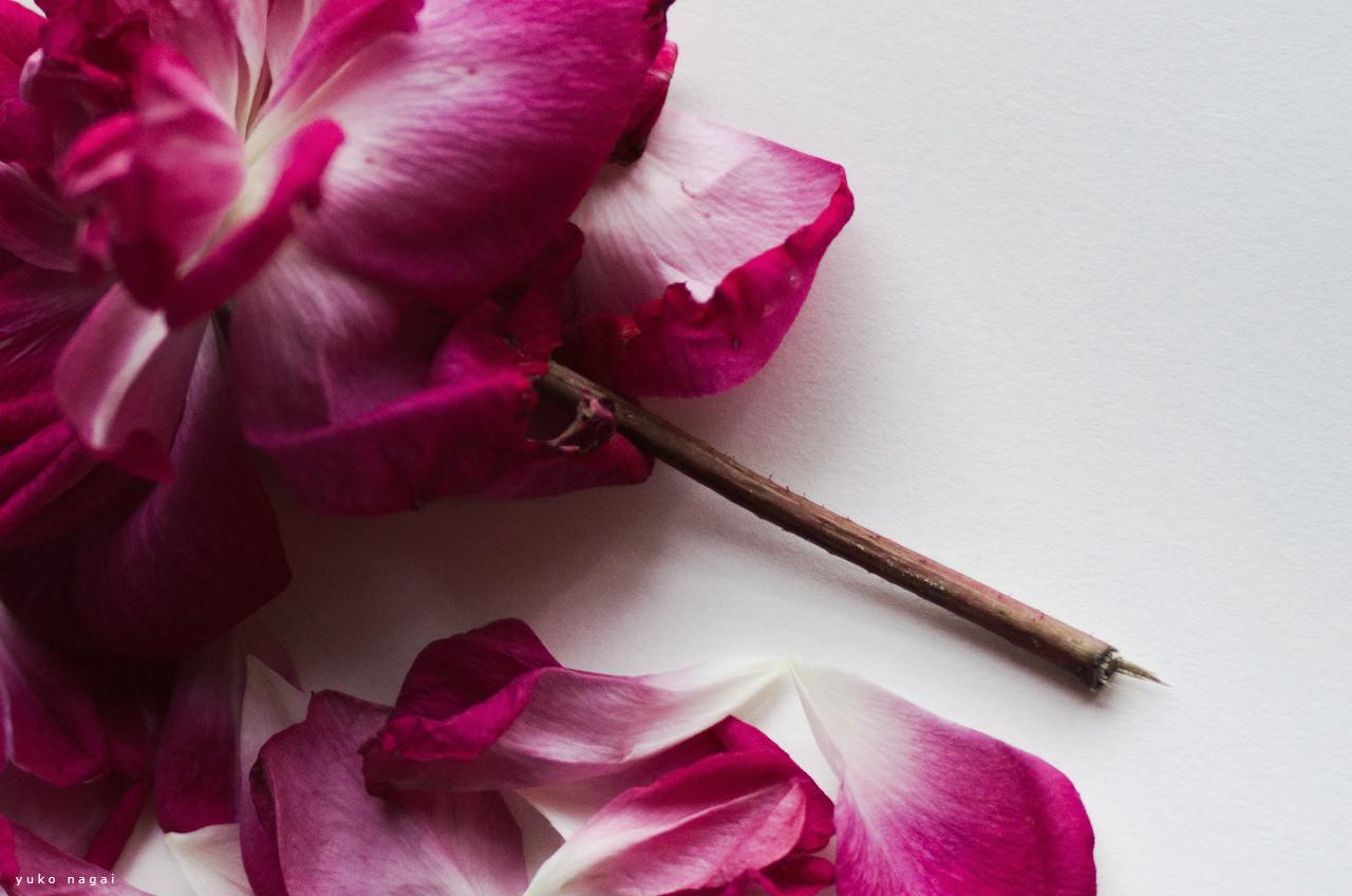 Pink rose petals.