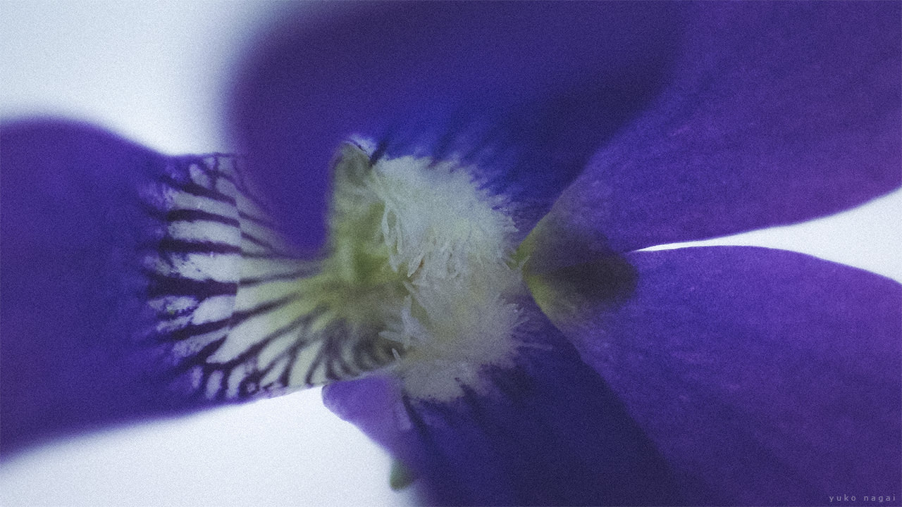 Sumire Violet blossom detail.