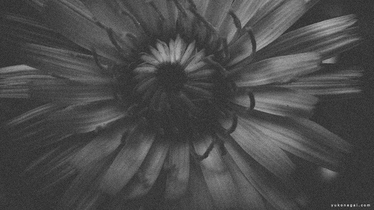 Daisy, detail in monochrome.