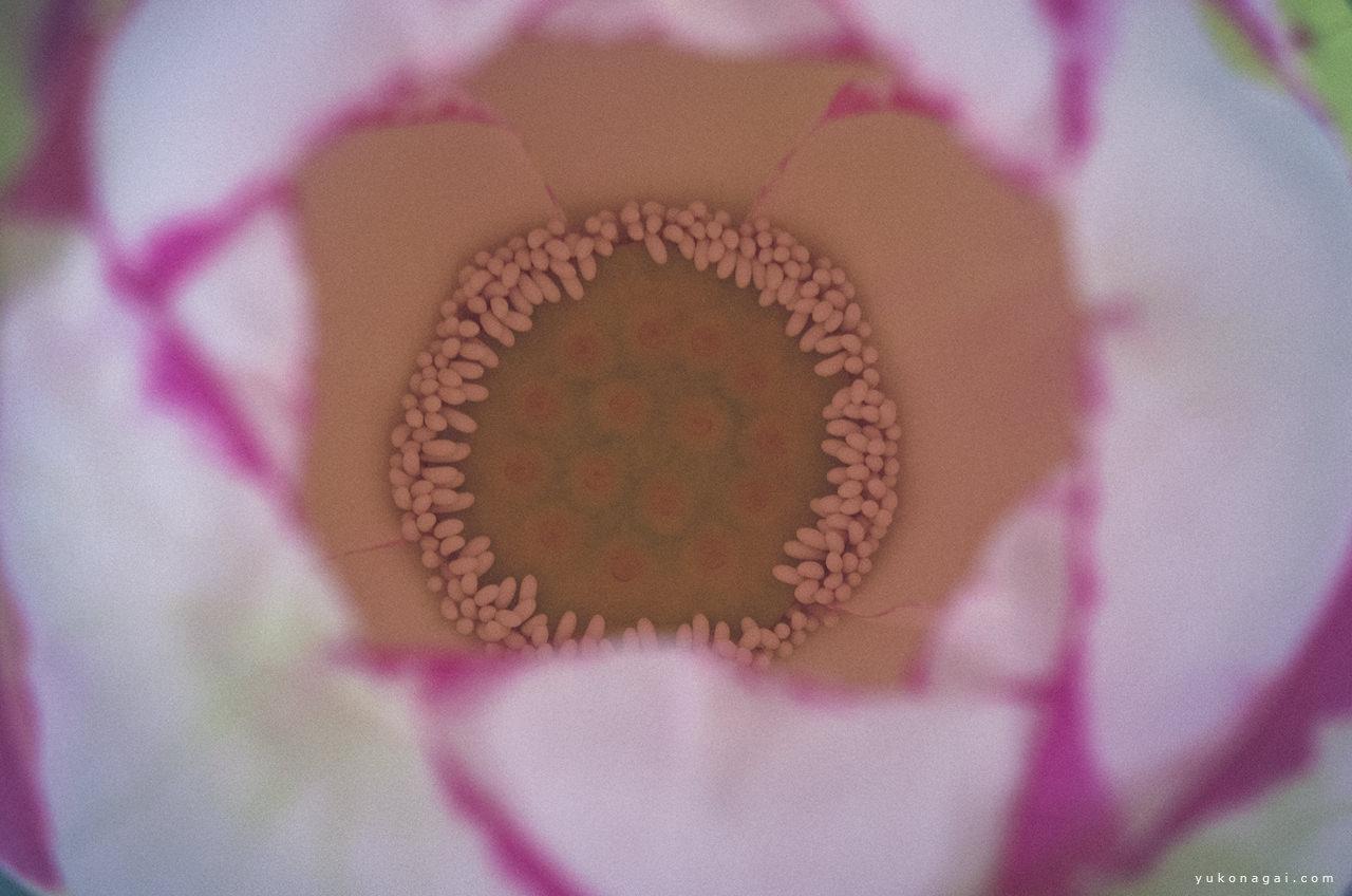 Lotus flower close detail.