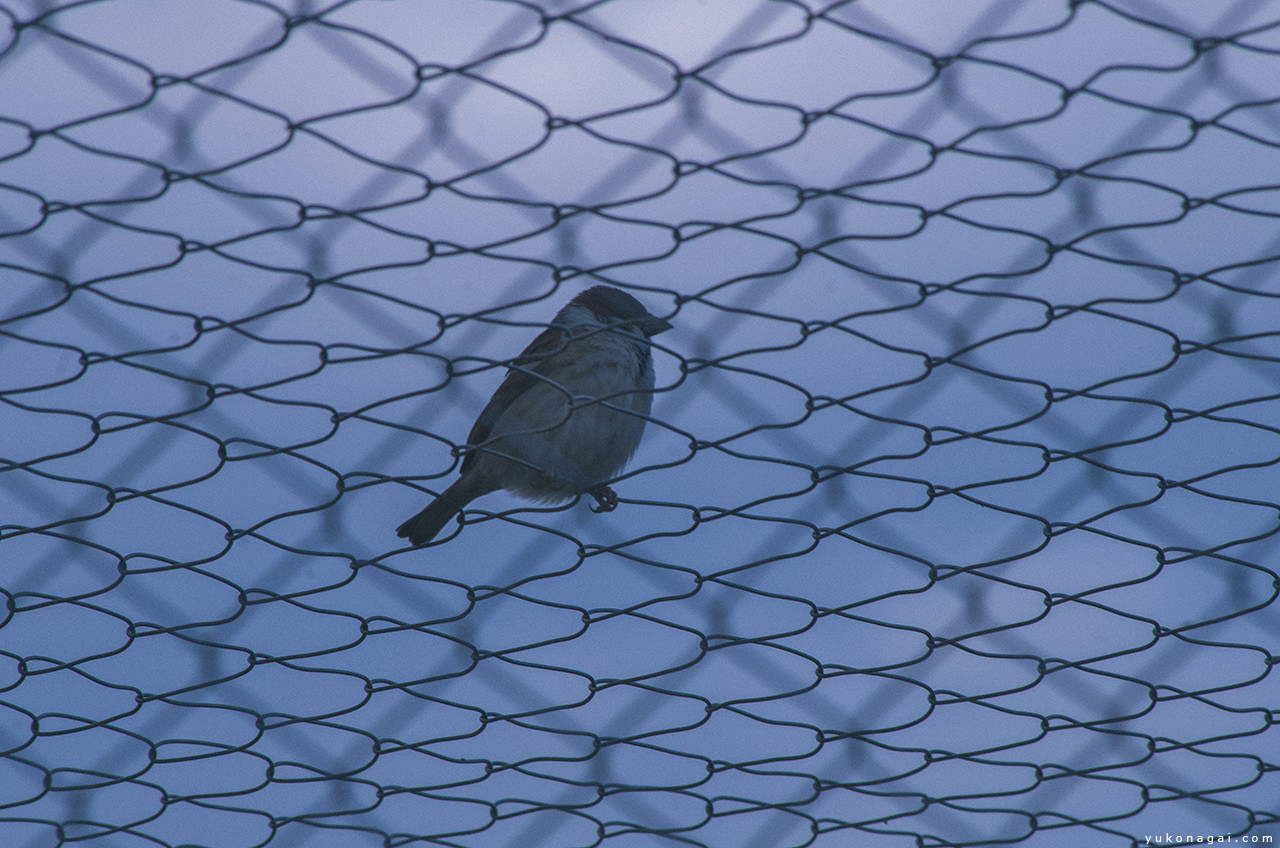 A sparrow on the zoo cage.