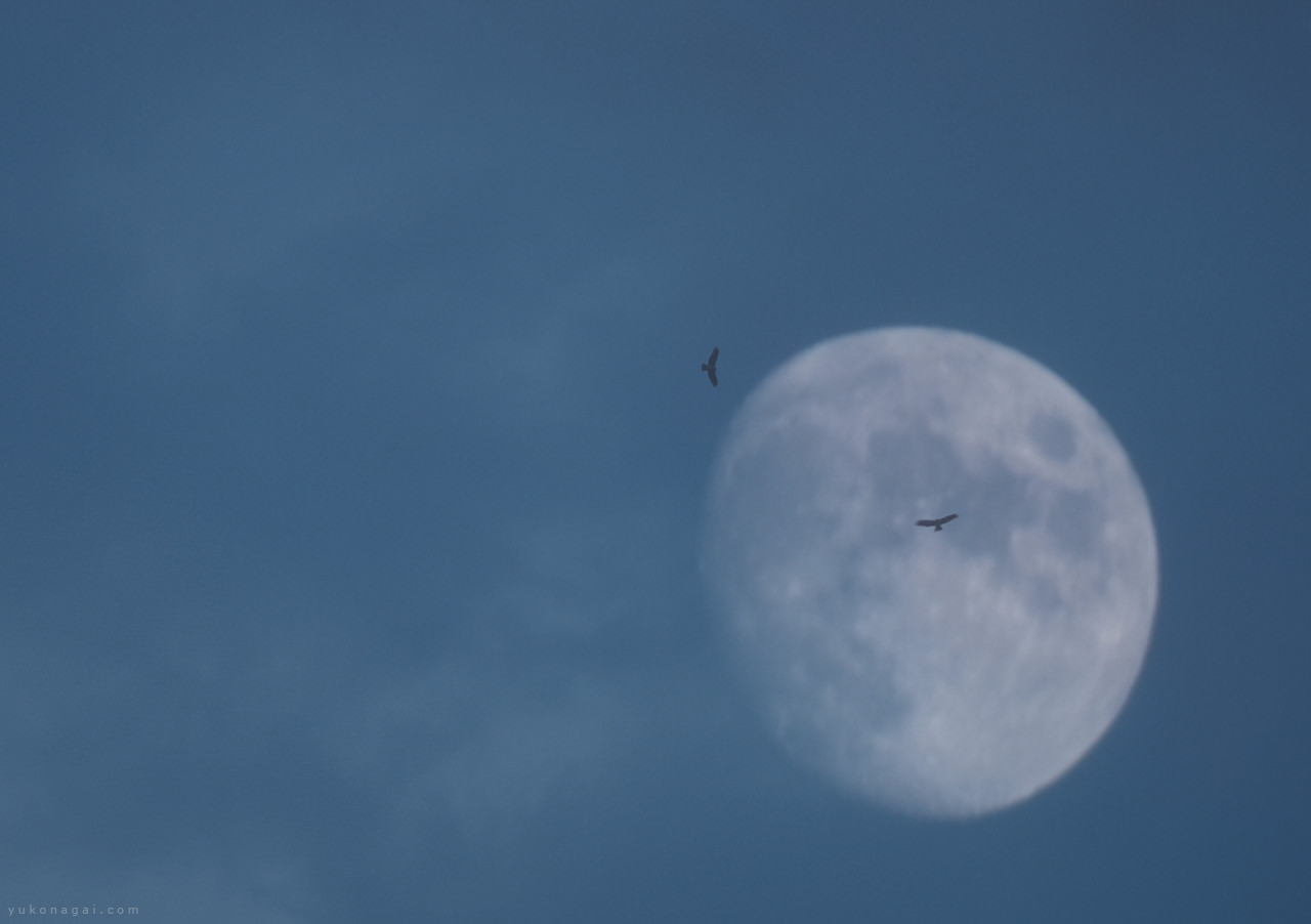 Two kites in flight before moon.