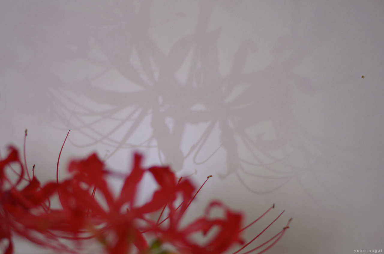 Red spider lily blossoms.