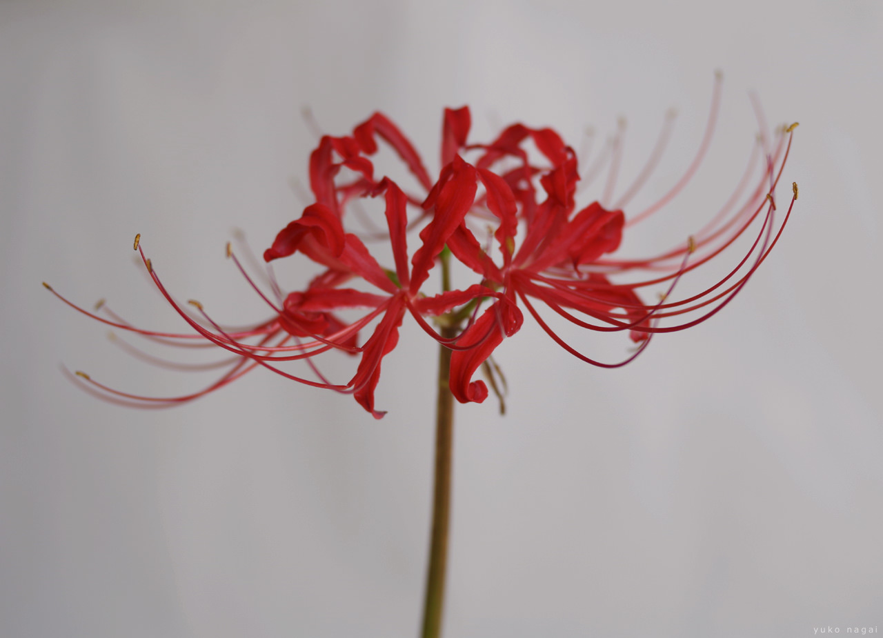 A red spider lily blossom.