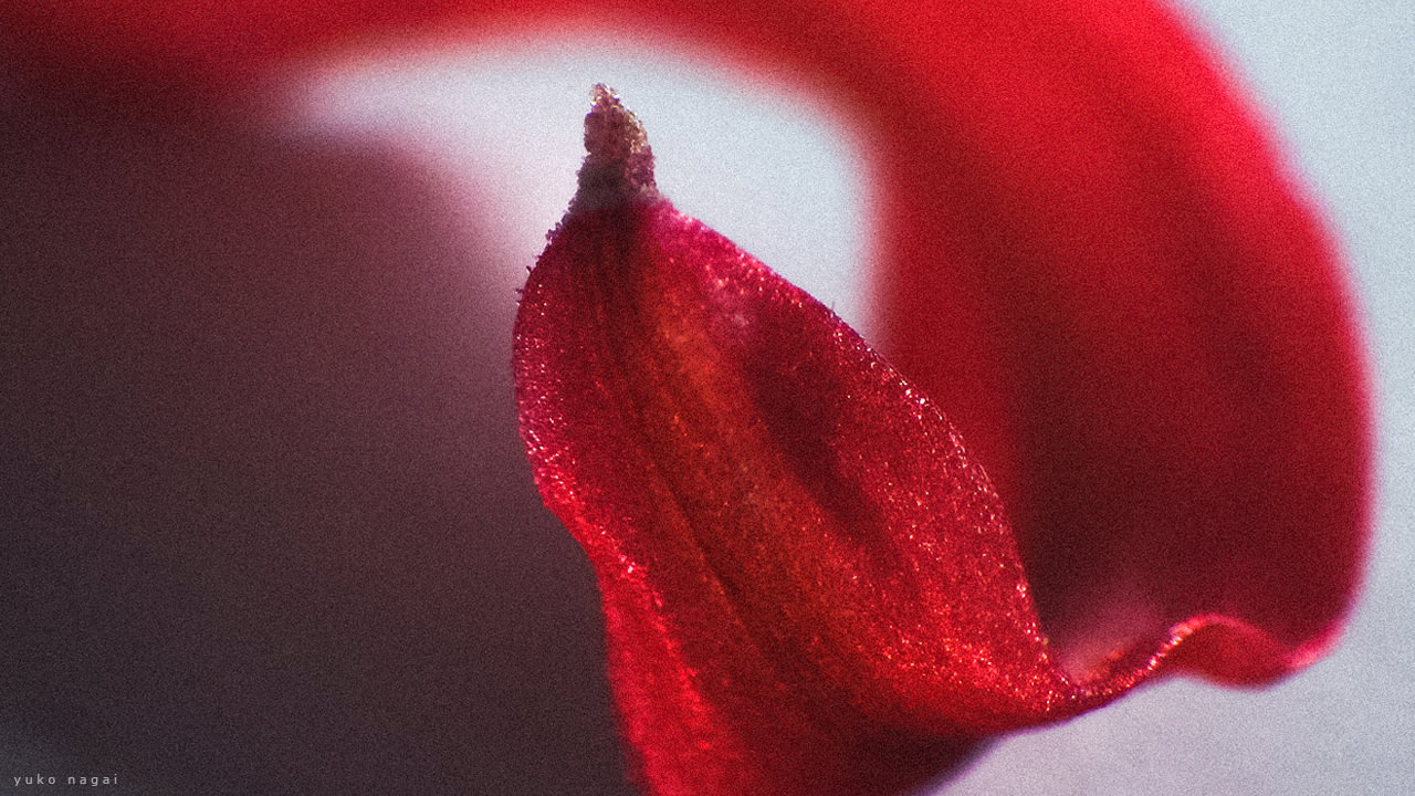 A spider lily petal close detail.