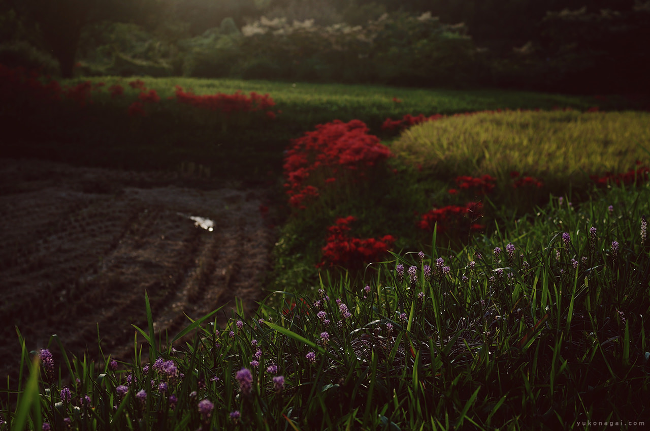 Red spider lilies in rice field.