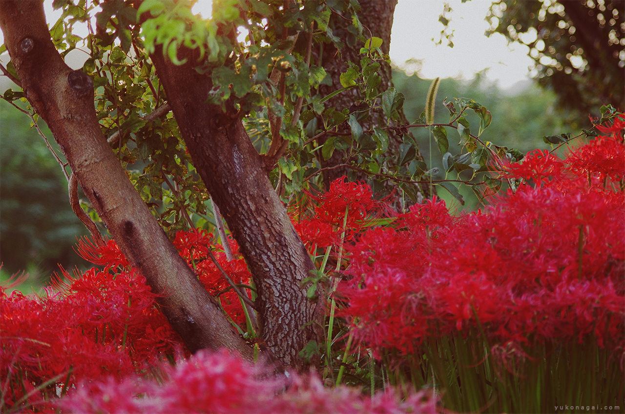 Red spider lilies in rural Japanese wild.