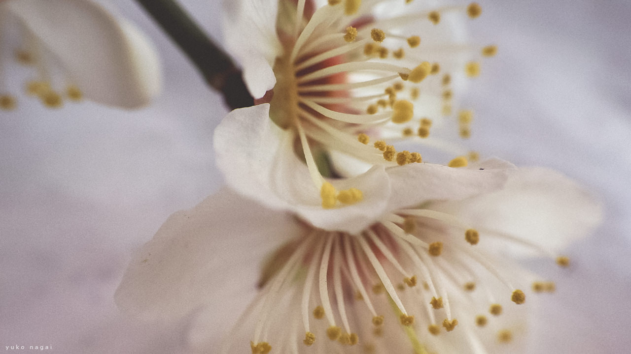 Japanese Apricot blossoms detail.