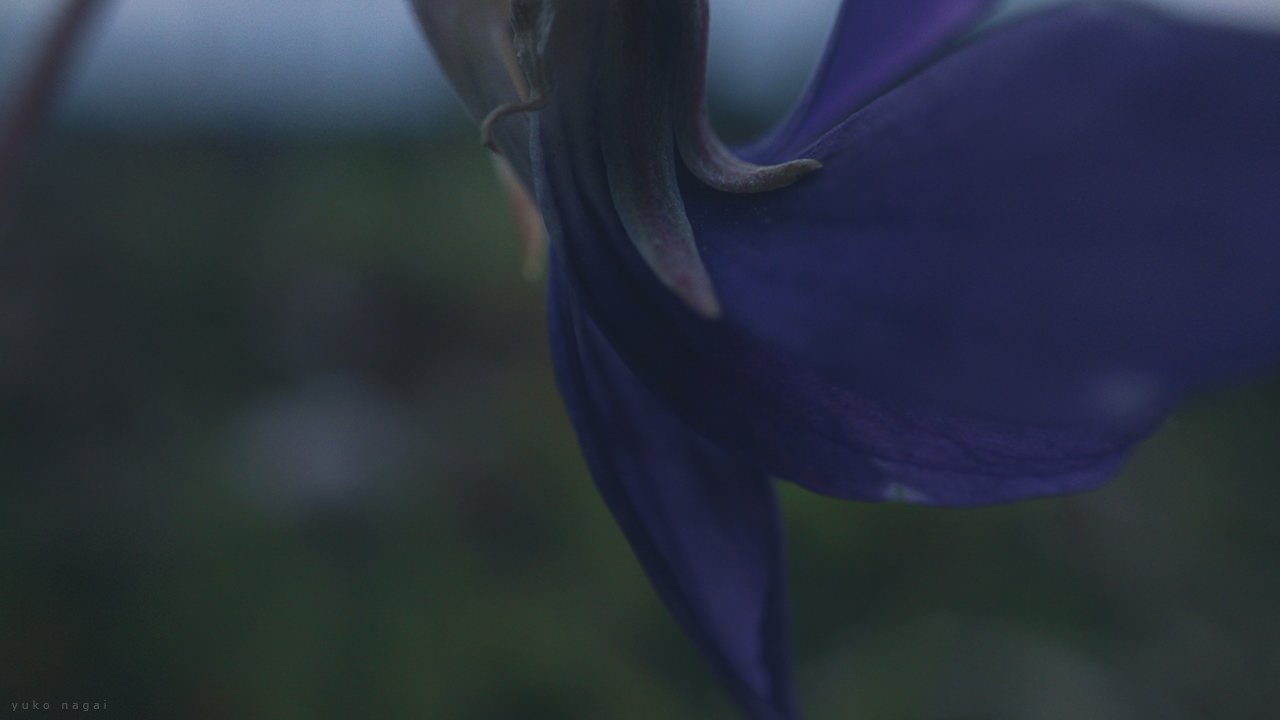 A sumire violet blossom detail.