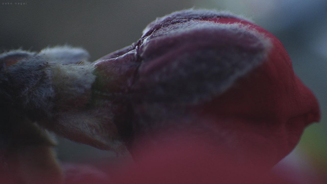 A weeping peach bud detail.