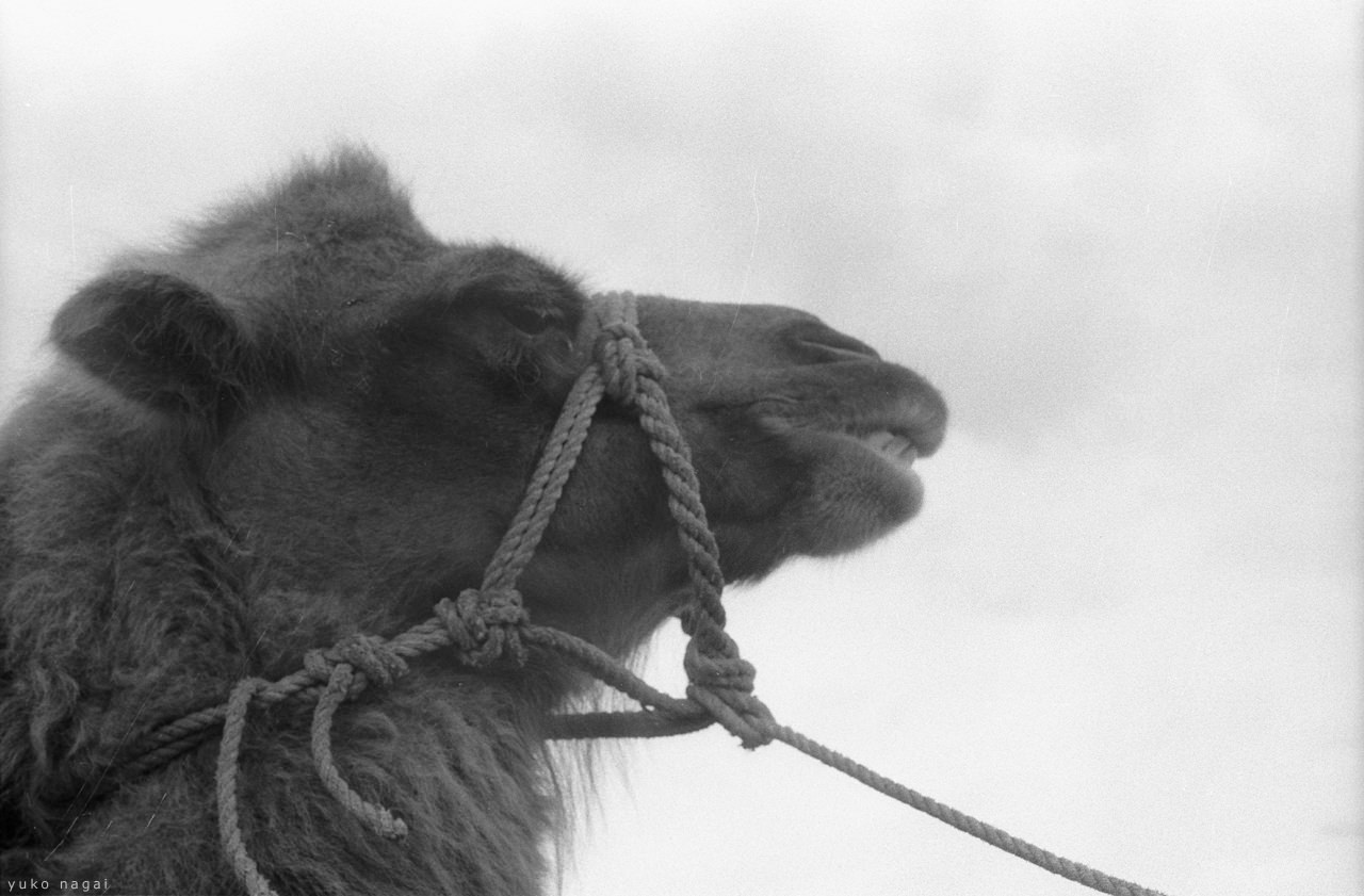 Profile of a harnessed camel.