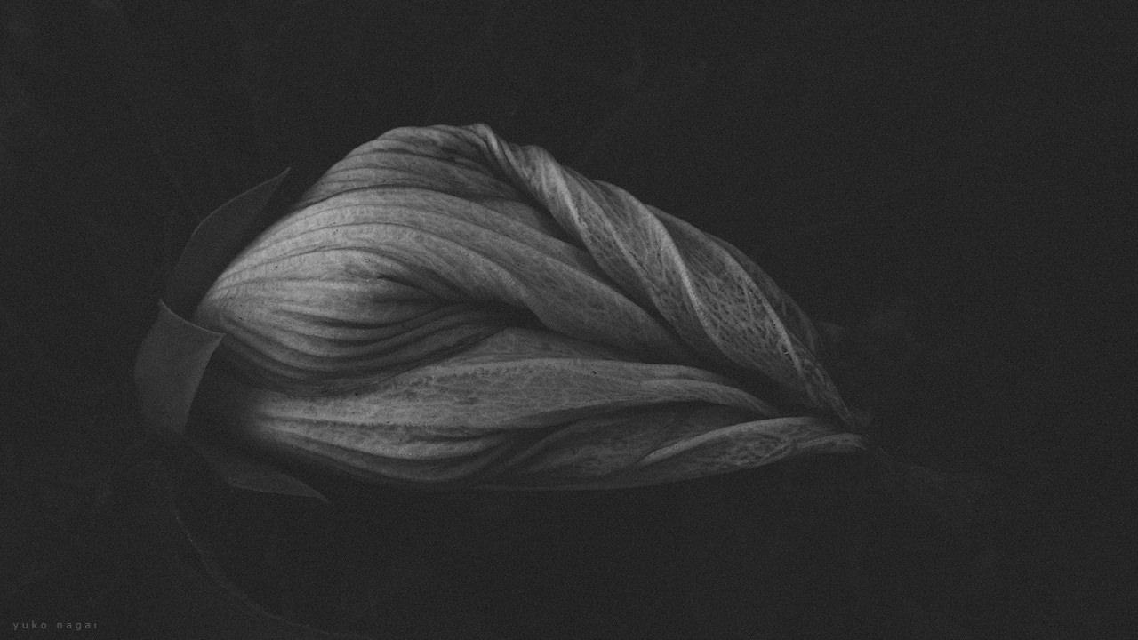 A Cotton Rose bud.