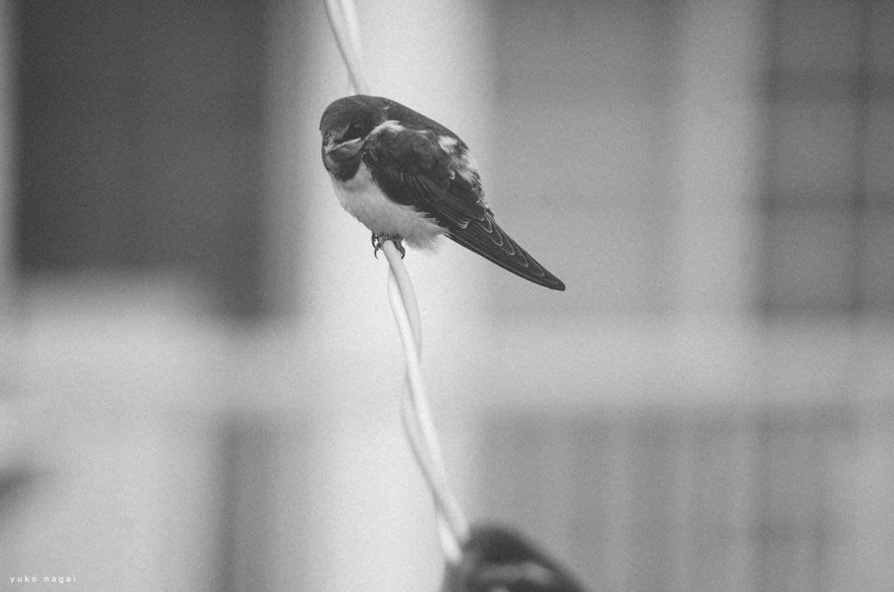 Swallows on phone line.