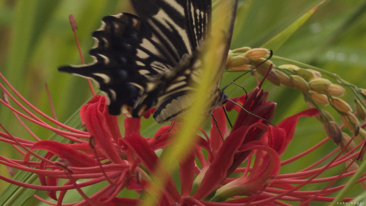 A Swallowtail butterfly on a spider lily blossom.