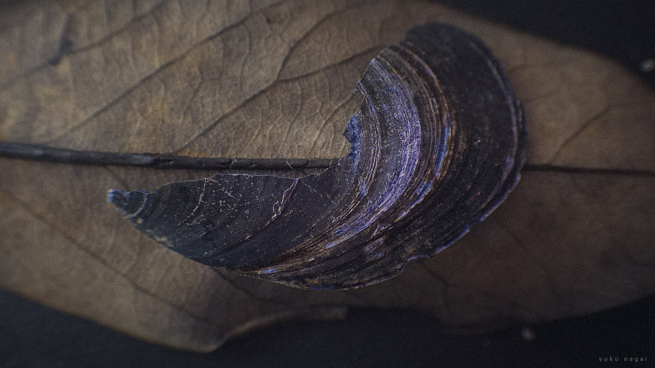 A flat sea shell on a leaf.