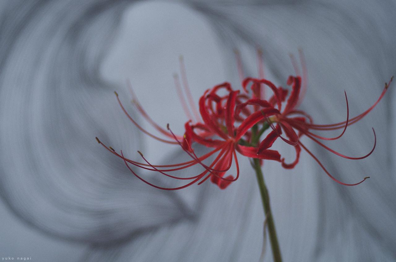 A spider lily blossom in art studio.