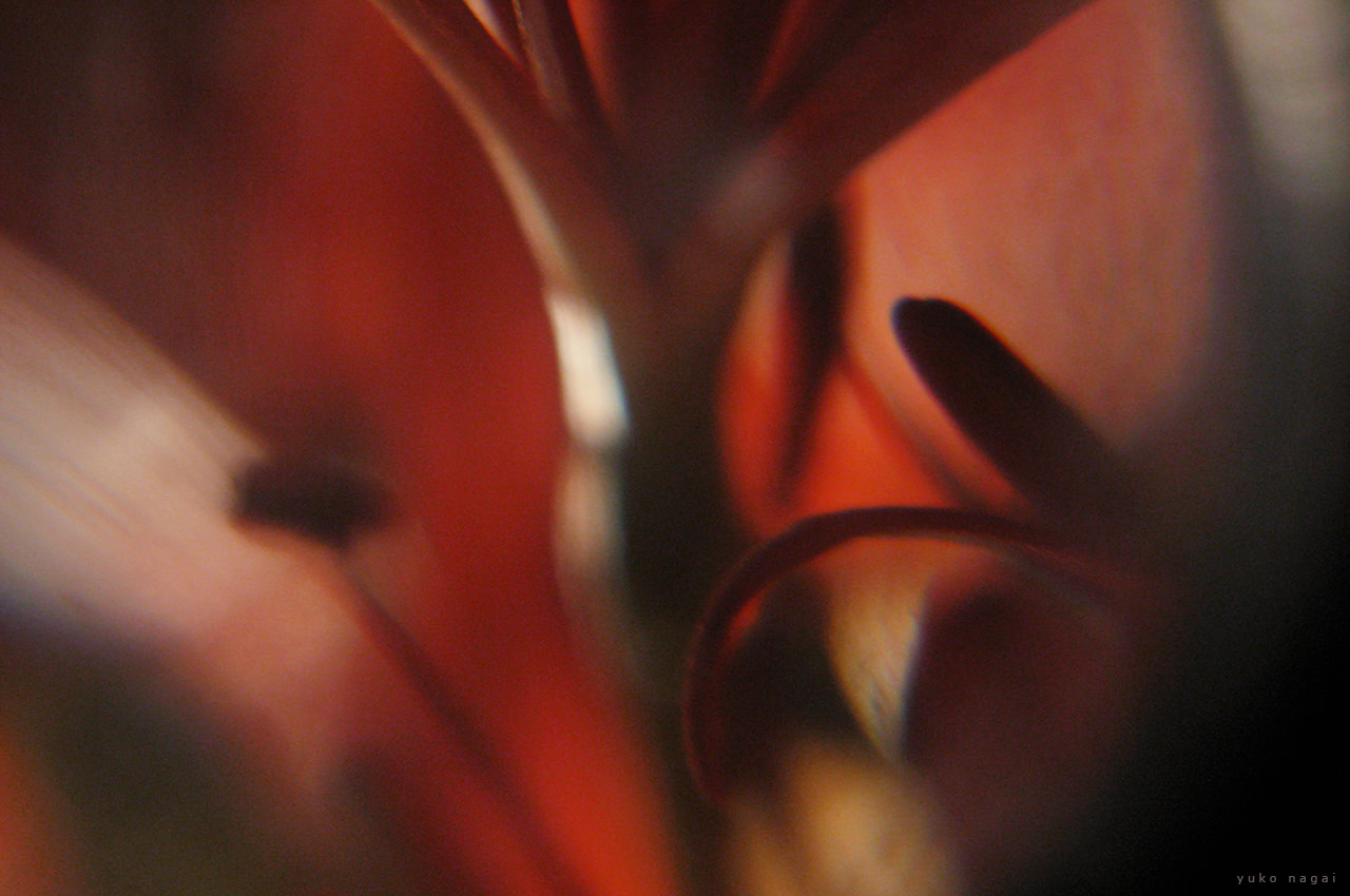 A red spider lily blossoms.
