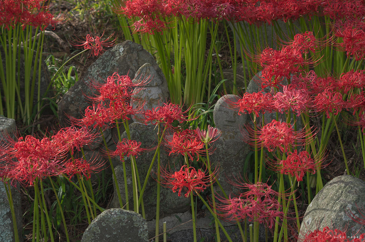 Red spider lilies and Jizou rock statues.