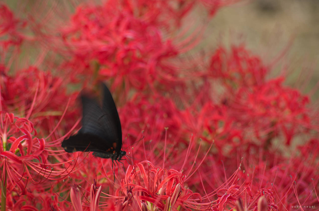 Red spiderlilies and a black butterfly.