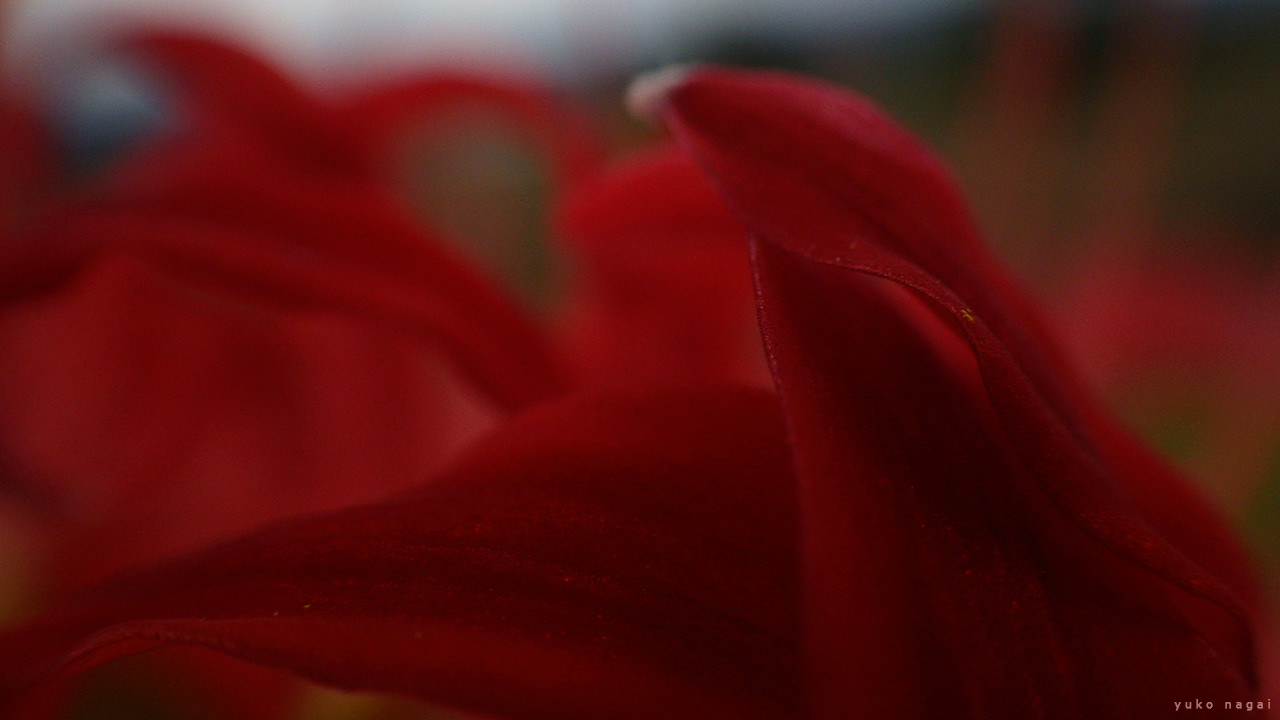 Red spider lilies close up.