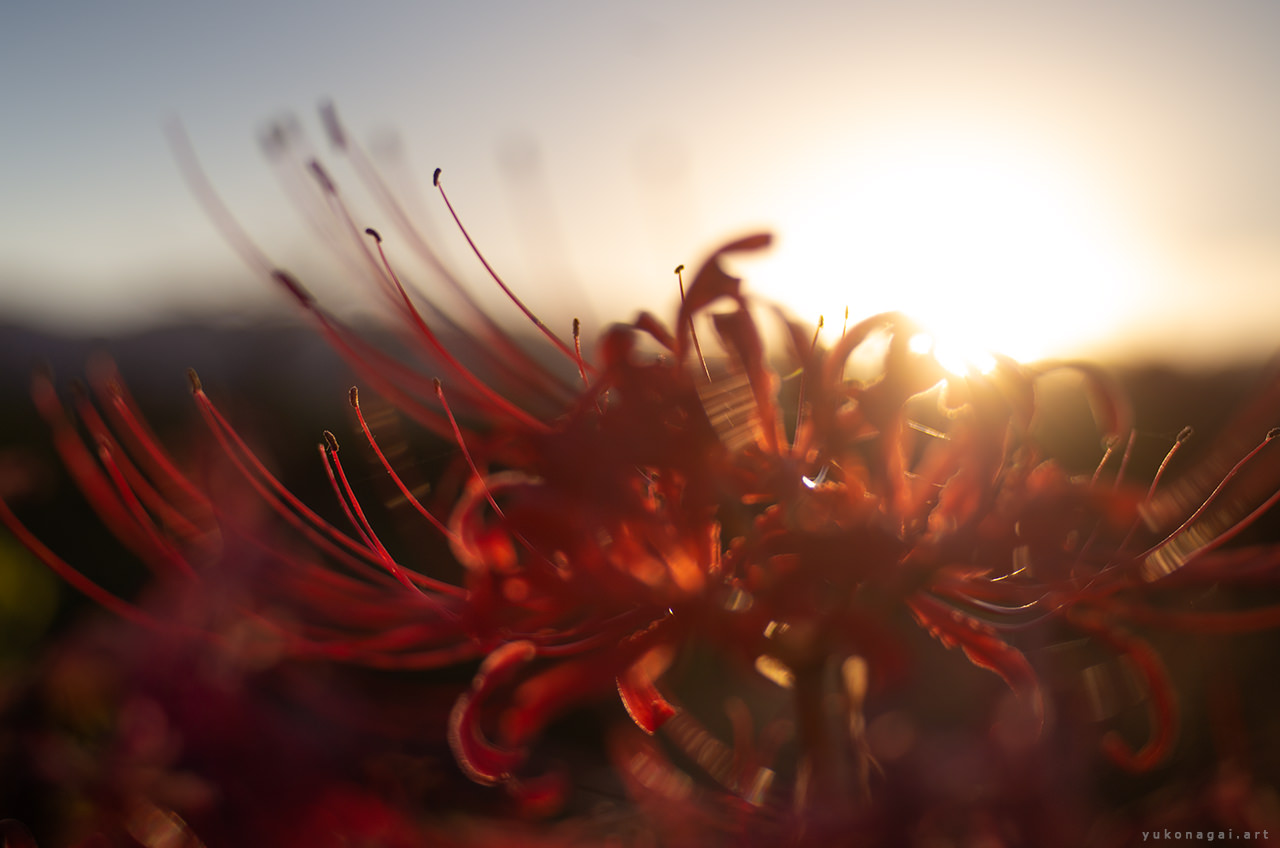A wild spider lily blossom lit by sunset.