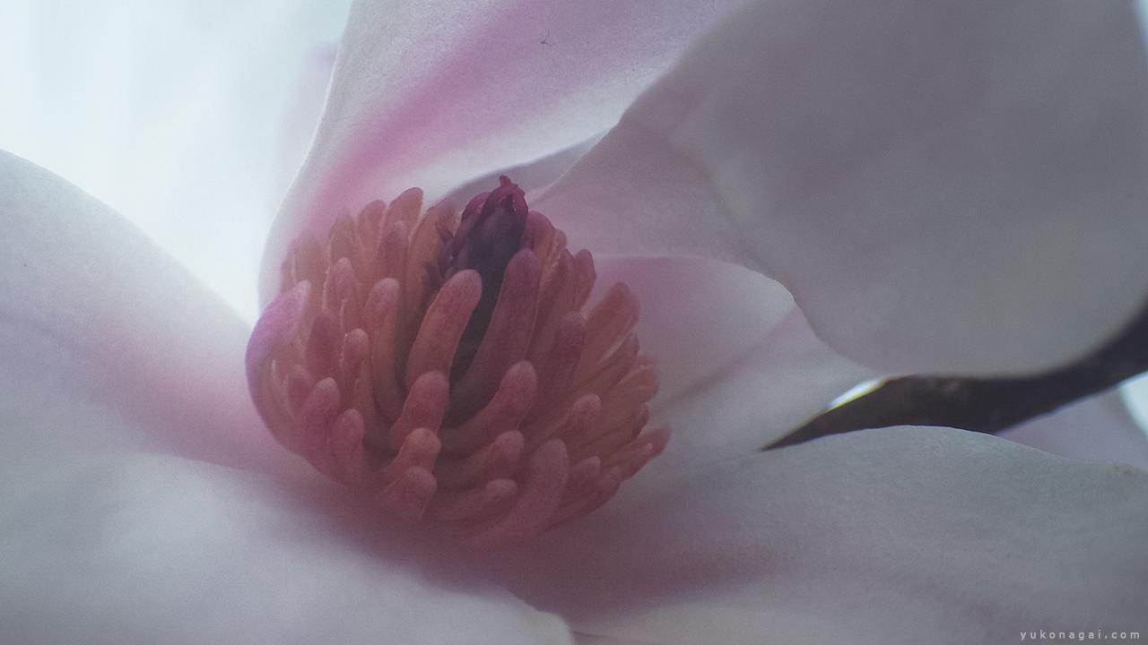 Magnolia Blossom, detail.