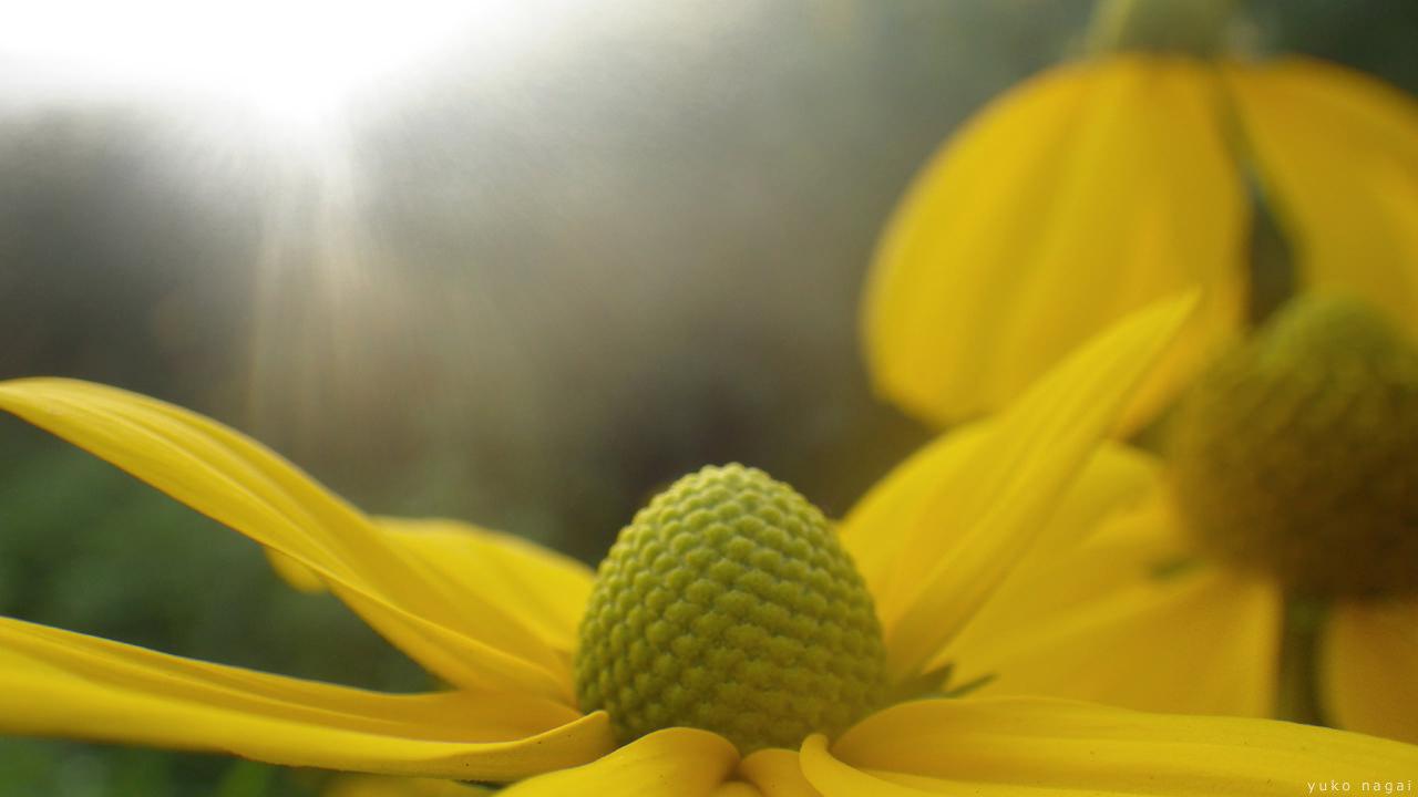Yellow summer daisies.