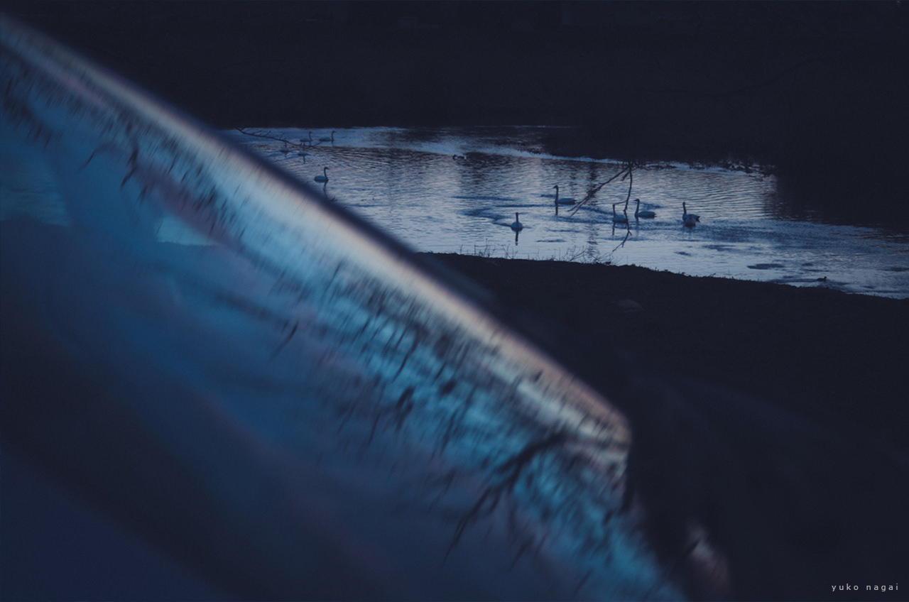 Swans in a river.